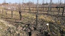 zakrpateno rastúce stromčeky hrušky