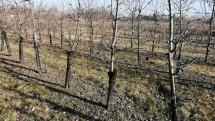 Stromy čerešne - tvar vreteno a kvetné puky