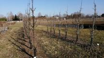 stĺpovité jablone - baleríny a zakrpateno rastúce stromy hrušiek