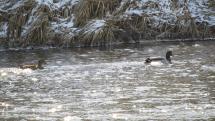 Rieka Poprad - kačičky