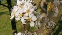 Včela na kvetoch hrušky