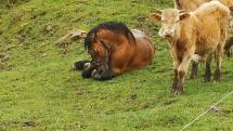Oddychujúci kôň