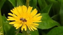 včela medonosná na púpave