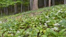 Havrania skala a milióny listov medvedieho cesnaku