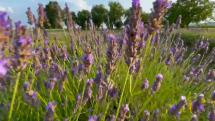 Levanduľové pole, Stankovce