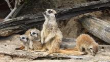 Pozujúce surikati