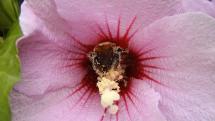 včela medonosná na ibišteku bahennom