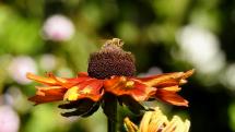 včela na rudbekii