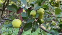 Jablká.