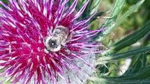 Včielka z Tvarožnej