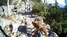 Líška v Tatrách