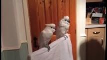Tancujúci papagáj
