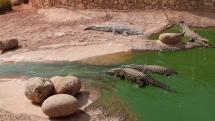 krokopark pri Marockom meste Agadir