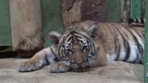 Mláďata tygrů