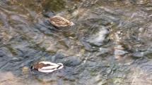 Pienisnske divé kačice