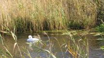 Labute na riečke Malina - Stupava