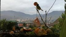 Ranná hostina sýkoriek