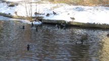 Kačky na ľade - zámocký park v Stupave
