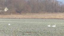 Vodné vtáky na poli - Záhorie, Vysoká pri Mporave