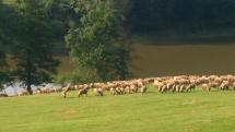 Ovečky z Novej  Kelči na rannej pastve