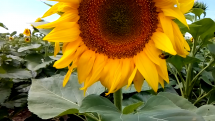 Usmievavé slnečnice, no nie ešte všetky