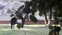 Koniky z Bardejova