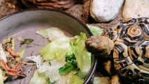 Kŕmenie korytnačky leopardej
