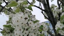 Včielka pracuje