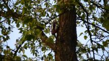Ďateľ na strome
