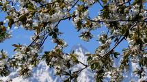 kvitnúca čerešňa pod Tatrami