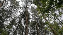 Zvuky stromov