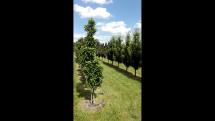 Ovocné stromy - intenzívne pestovateľské tvary