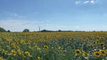 pole slnečníc