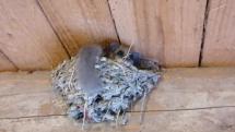 Plch v lastovičom hniezde