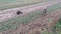 Venčenie psíkov